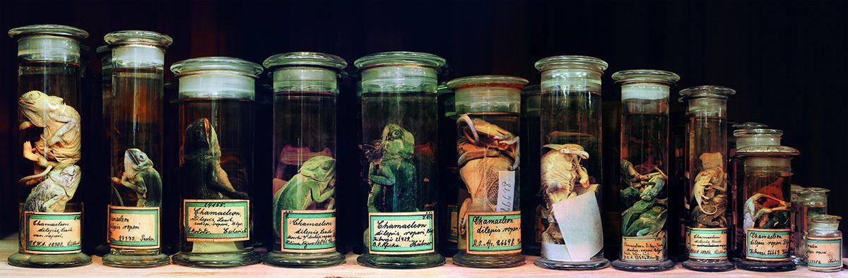 terstappen_chameleons